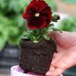 Seedling of red pansy — Stock Photo