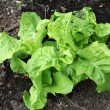 Stock Photo: Young lettuce seedling