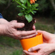 Stock Photo: Putting dahliinto flowerpot