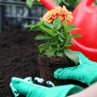 Stock Photo: Preparing dahlifor planting
