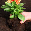 Stock Photo: Planting dahliseedling