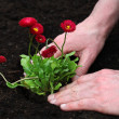 Finishing planting daisy seedling — Stock Photo