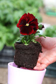 Seedling of red pansy — Foto de Stock
