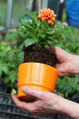 Putting dahlia into flowerpot — Stock Photo