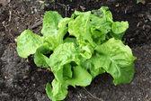 Junge salat sämling — Stockfoto