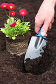 Planting daisy seedling — Stock Photo