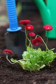 Seedling of daisy in soil — Stockfoto