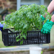 Gardeners carries box with tomatoes — Stock Photo #27066565