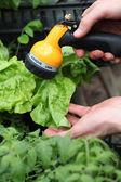 Watering vegetables in garden — Stock Photo