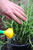 Watering rosemary herb — Stock Photo