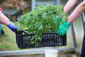 Gardeners carries box with tomatoes — Stock Photo