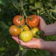 Tomato plantation — Stock Photo
