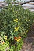 Tomatos in the greenhouse — Stock Photo
