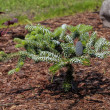 Stock Photo: Coniferous young bush