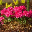 Azalea flowerbed — Stock Photo