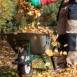 Wheelbarrow full of leaves — Stock Photo