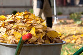 Autumn leaves in a wheelbarrow — Stock Photo