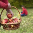 Man collecting autumn apples — Stock Photo