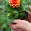 Foto de Stock  : Seedling of dahlia