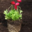 Stockfoto: Daisy seedling with roots