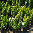 Stock Photo: Coniferous trees
