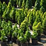 Coniferous trees — Stock Photo #41774917