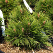 Stock Photo: Pinus leucodermis, closeup