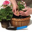 Putting a fertilizer in flower — Stock Photo