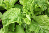 Young lettuce head — Stockfoto