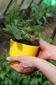 Strawberry seedling in flowerpot — Stock Photo