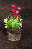Daisy seedling with roots — Stock Photo