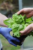 Checking new lettuce seedling — Stock Photo