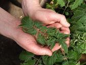 Handful of tomato leaves, closeup — Stockfoto