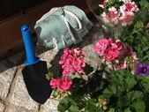 Planting geranium — Zdjęcie stockowe