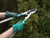 Thuja shearing — Stock Photo
