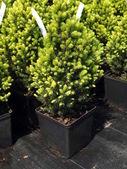 Picea glauca — Stock Photo