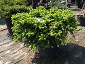 "Picea Glauca ""Daisy's White"" — Stock Photo"