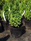 """Picea glauca """"conica"""" — Stock Photo"""