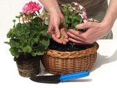Putting a fertilizer in flower — Stock Photo