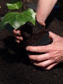 Ivy seedling — Stock Photo