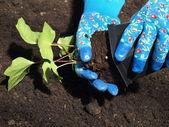 Planting ivy — Stock Photo