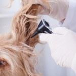 Dog having otoscope examination — Stock Photo