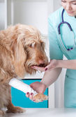 Dog after surgical intervention — Stock Photo