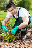 Cropping a plant in a garden — Stock Photo