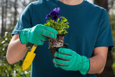 Hands holding pansy seedling — Stock Photo