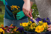 Horticulturists planting flowers — Stock Photo