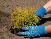 Planting a juniper — Stock Photo