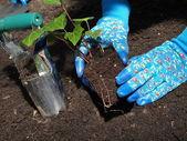 Výsadba břečťan stromu — Stock fotografie