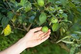 Unripe apples in orchard — Stock Photo