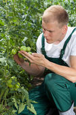 Unripe tomatoes in a garden — Stock Photo